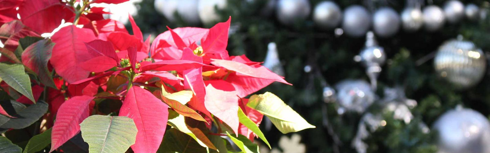 Christmas Tree and red poinsettia
